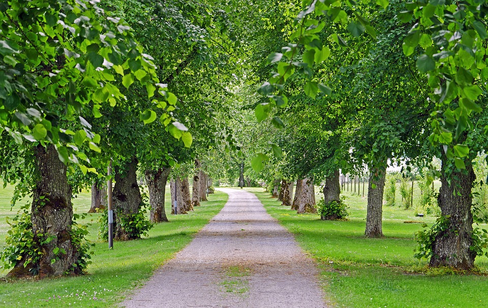 a small roadway leads down a row of linden trees